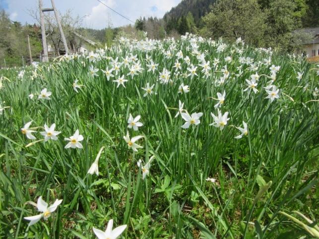 Narcise na Planini pod Golico
