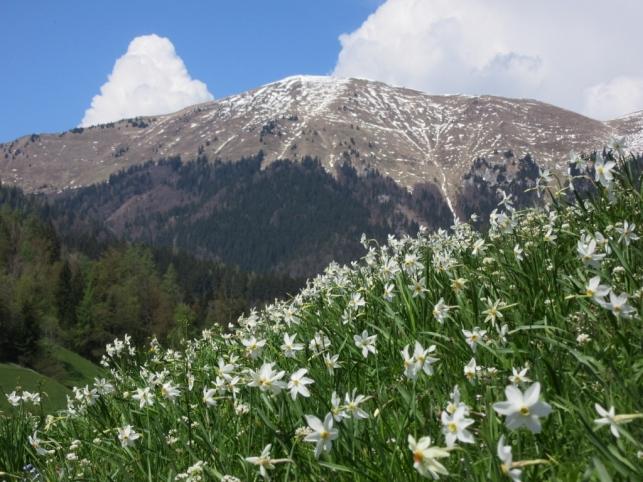 Narcise z vrhom Golice