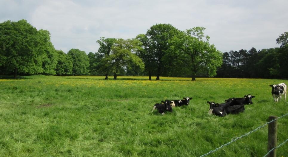 Angleška trava
