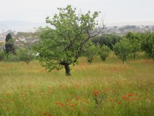 Makovo polje