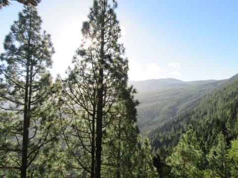 Borov gozd