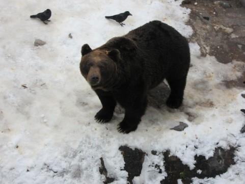 Japonski rjavi medved