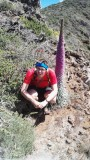 Kanarska gigantska roža