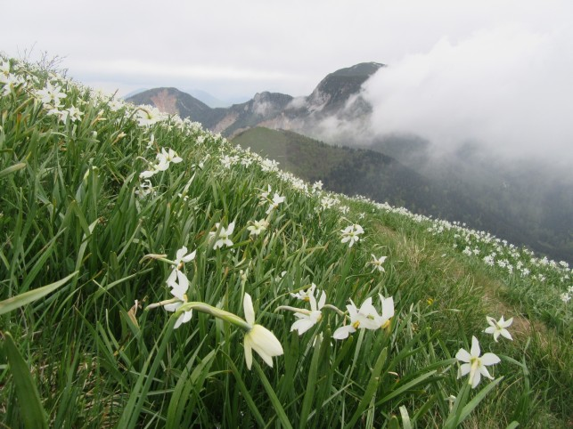 Narcise od blizu