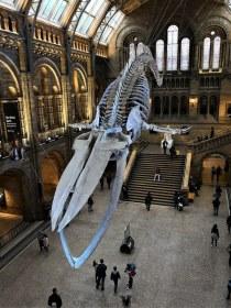 Okostje sinjega kita
